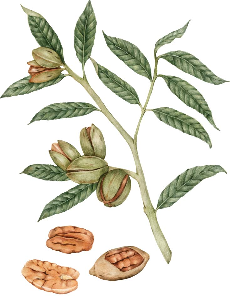 About Pecan Image